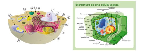 celula procariota y eucariota. Las células animales, como las
